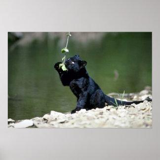 Leopard-svart arrangera gradvisunge poster