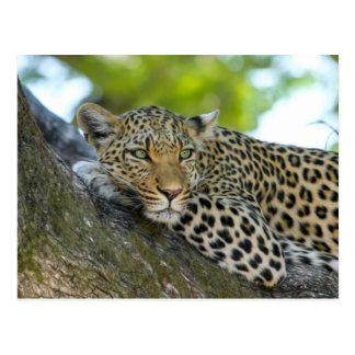 Leopard Vykort