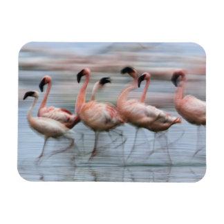 Lesser Flamingos i rörelse, Phoenicopterus Magnet