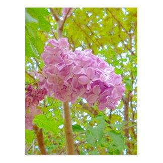 Lilac、紫丁香花(むらさきはしどい) Vykort