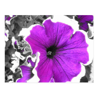 Lilor tonade svartvita Petunias Vykort