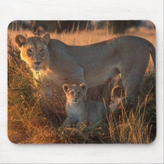 Lioness (Panthera Leo) och unge Musmatta