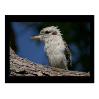 Liten kookaburra vykort