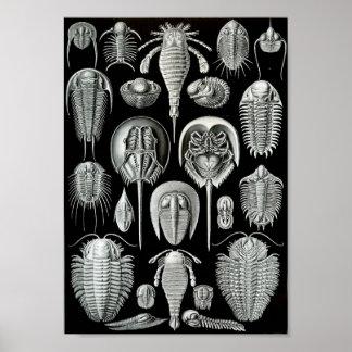 """Liv 11"""" för Ernst Haeckel konsthav x 8,5 Poster"""