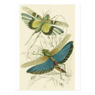 Locusta (lägre) Cristata, (övre) Locustaflava, Vykort
