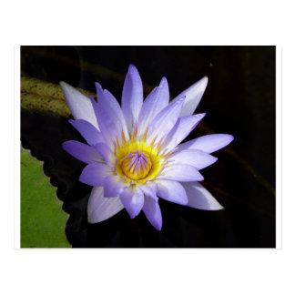 lotus bleu du Nil Vykort