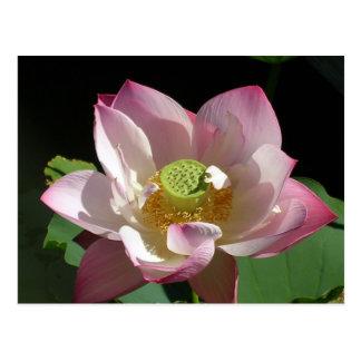 Lotusblomma Vykort