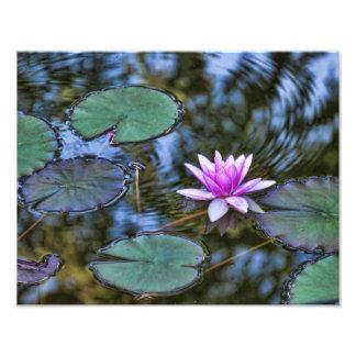 Lotusblommaliljan vadderar näckros i en italienare fototryck