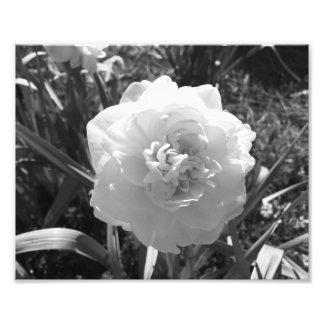 Lycksalig svartvit påsklilja fototryck