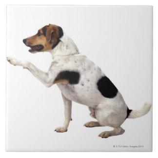 Lyftande tass för jackRussell Terrier Kakelplatta