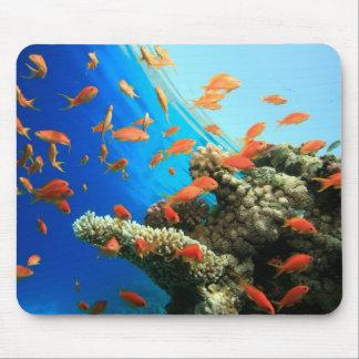 Lyretail anthias på korallreven musmatta