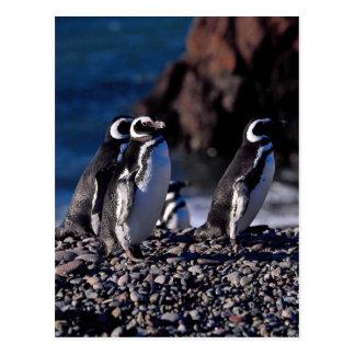 Magellanic pingvin vykort