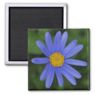 Magnet för Margherite blåttdaisy