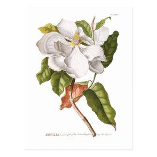 Magnolia. Vykort