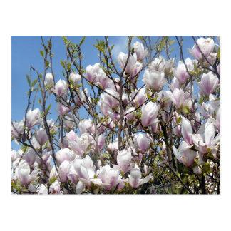 Magnoliaen blommar i vårvykort vykort