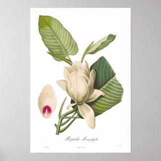 Magnoliamacrophylla Poster