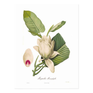 Magnoliamacrophylla Vykort