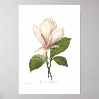 Magnoliasoulangiana Poster