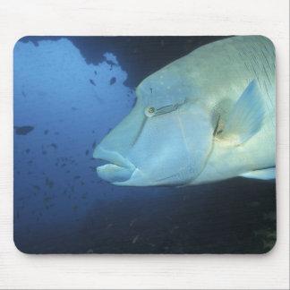 Maldiverna, Napoleanfish Chelinus undulatus) Musmatta