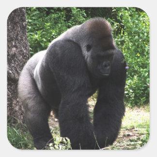 Male gorilla för Silverback som går head down.jpg Fyrkantigt Klistermärke