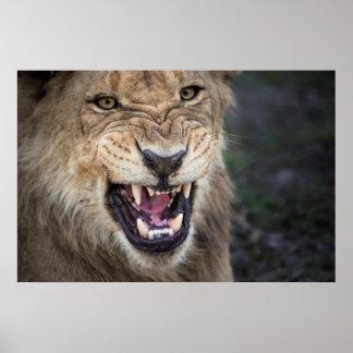 Male lejont brumma, tätt upp poster