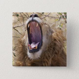 Male lejont (pantheraen leo) gäspa, Masai Mara Standard Kanpp Fyrkantig 5.1 Cm