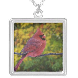 Male nordlig kardinal i hösten, Cardinalis Silverpläterat Halsband