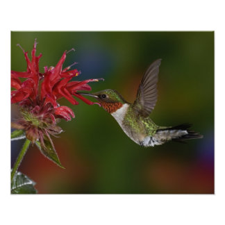 Male Ruby-throated Hummingbird som matar på Poster
