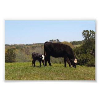 Mammako och kalv i Texas Fototryck