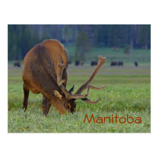 Manitoba älgvykort vykort