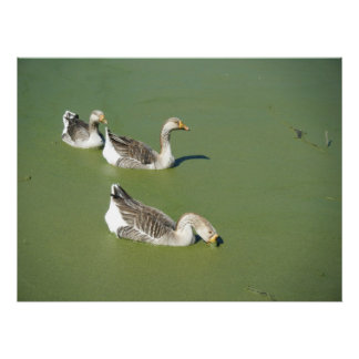 Mars 4th_Swamp duckar #2 Poster