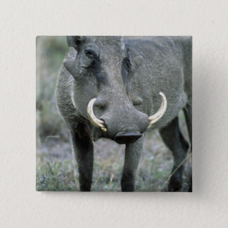 Masai Mara för Warthog Phacochoerusafricanus) Standard Kanpp Fyrkantig 5.1 Cm