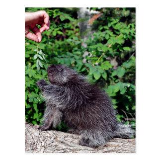 Mata för Porcupine Vykort