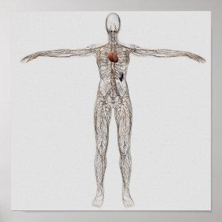 Medicinsk illustration av det kvinnliga Lymphatic Poster