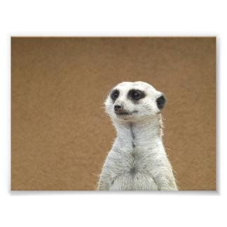 Meerkat Fototryck