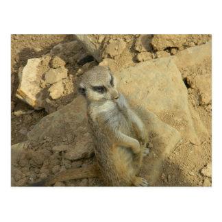 Meerkat spion vykort