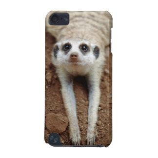 Meerkat (Suricata Suricatta) som kyler, besegrar