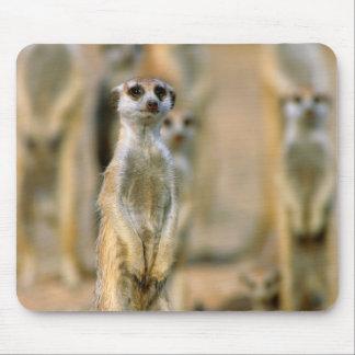 Meerkat (Suricata Suricatta) vaktposter, Karas 2 Musmatta