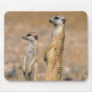 Meerkat (Suricata Suricatta) vaktposter, Karas Musmatta