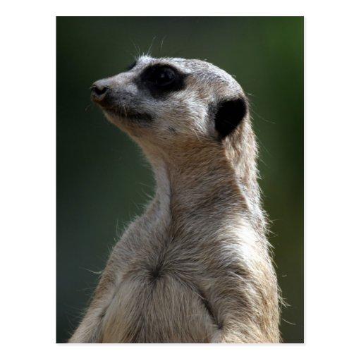 Meerkat vykort
