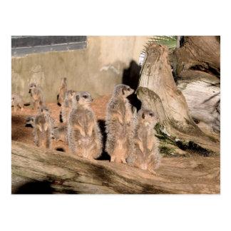 Meerkats Vykort