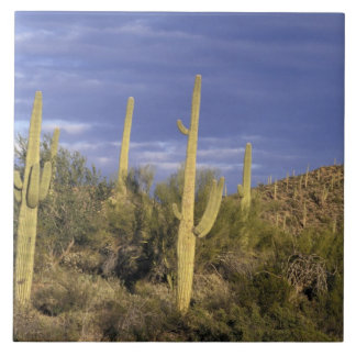 Mexico Baja del Norte, Catavina ökenmedborgare 2 Kakelplatta