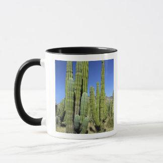 Mexico Sonora, San Carlos. Saguaroen & organ leda Mugg
