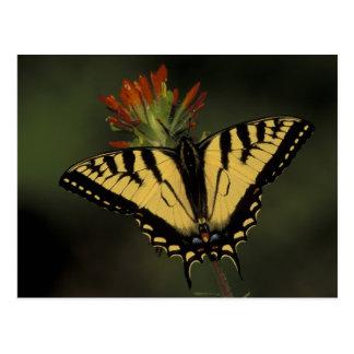 Michigan Houghton sjö. Tiger Swallowtail på Vykort