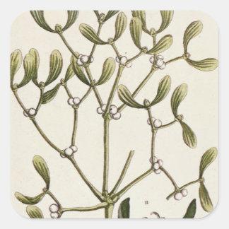 """Mistletoe från """"ett nyfiket växt-"""", 1782 fyrkantigt klistermärke"""