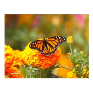 Monark på en ringblomma vykort
