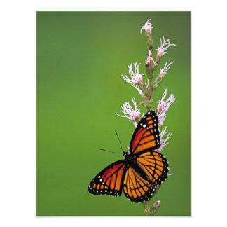 Monarkfjäril och blomma på grön bakgrund fototryck