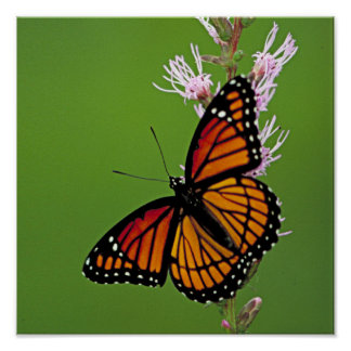 Monarkfjäril och blomma på grön bakgrund poster
