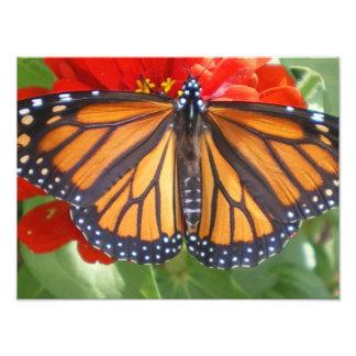 Monarkfjäril på Zinnia Fototryck
