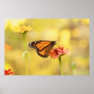 Monarkfjäril på Zinnia Poster